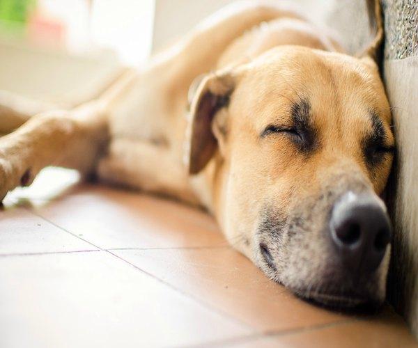 Descubre si los perros sueñan