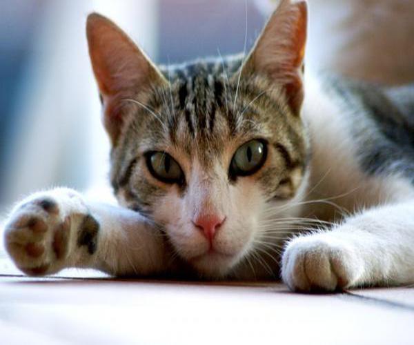 ronronean los gatos