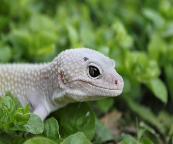 Cómo construir un terrario para Gecko Leopardo | Visión Animal