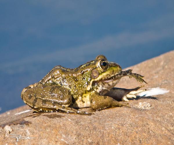 Sistema digestivo de una rana | Visión Animal