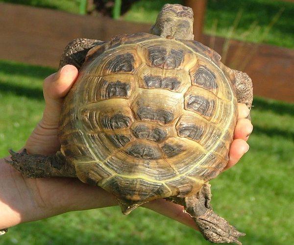 Tortugas rusas habitat